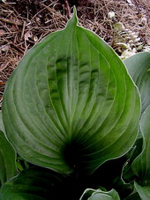 Hosta 'Pete's Dark Satellite'
