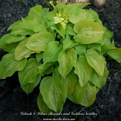 Hosta 'Silver Threads and Golden Needles'