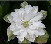 Clematis 'Baby Star'