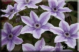 Clematis 'Best Wishes'