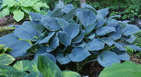 оHosta 'Blue Hawaii'