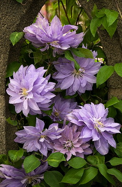 Clematis 'Denny's  Double'