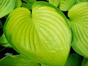 Hosta 'Fran Godfrey'