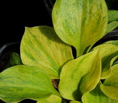 Hosta 'Golden Needles'