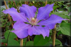 Clematis 'Guiding Star'