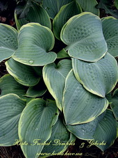 Hosta 'Frosted Dimples'