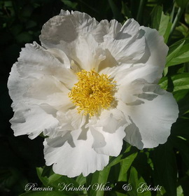 Paeonia 'Krinkled White'