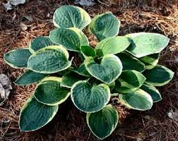 Hosta 'Lakeside Circle O'