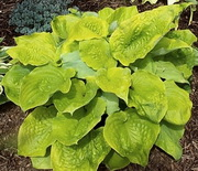Hosta 'Lemon Merinque'