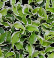 оHosta 'Let's Twist Again'
