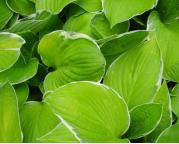 Hosta 'Moonlight'