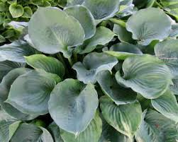 Hosta 'Moonlight Sonata'