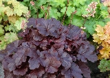 Heuchera 'Creole Nights