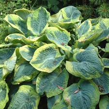 Hosta 'Olive Bailey Langdon'