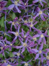 Clematis 'Queen of Holland