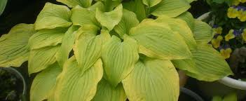 Hosta 'Sentimental Journey'