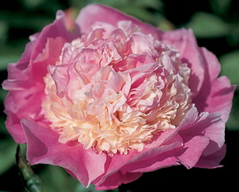 Paeonia 'She's My Star'