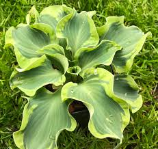 Hosta 'Smiling Mouse '