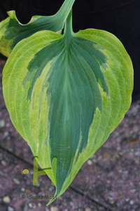 Hosta 'Snow Boy'