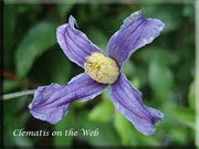 Clematis 'Budapest'