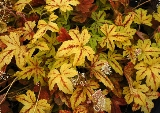 Heucherella 'Sunrise Fall'