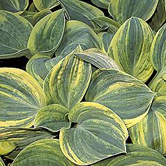 oHosta 'Ice Age Trail'