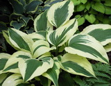 Hosta 'Ice Follies'