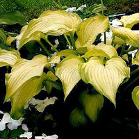 Hosta 'Made You Look'