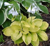 Hosta 'Maui  Buttercaps'
