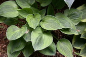 Hosta 'Pamela Lee'