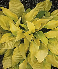 Hosta 'Prairie Moon'