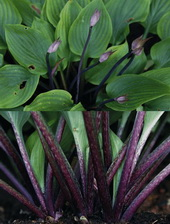 Hosta 'Purple Boots'