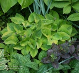 Hosta 'Radiant  Edger'