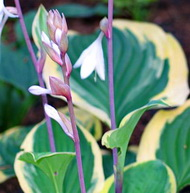 Hosta 'Strawberry Surprise'