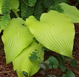 Hosta 'Mountain Sunrise'